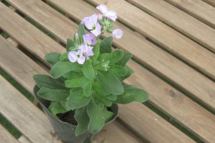 ストック  アブラナ科 耐寒性一年草 開花期:11~4月   すらっと伸びた花茎の頂部に、房状の花が咲きます。花には甘い香りがあります。ひなたと水はけのよい用土を好みます。関東以西では、開花苗を晩秋に植えると春まで咲き続けます。