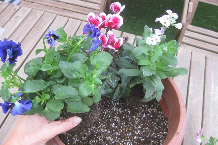 チューリップの球根の上に少し土をかけてから、ふつうに寄せ植えを作っていきます。後ろ側に背が高くなるストックを植えます。