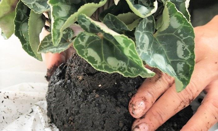 平べったくした土の上にガーデンシクラメンの苗をのせ、敷いた土で包み込みます。