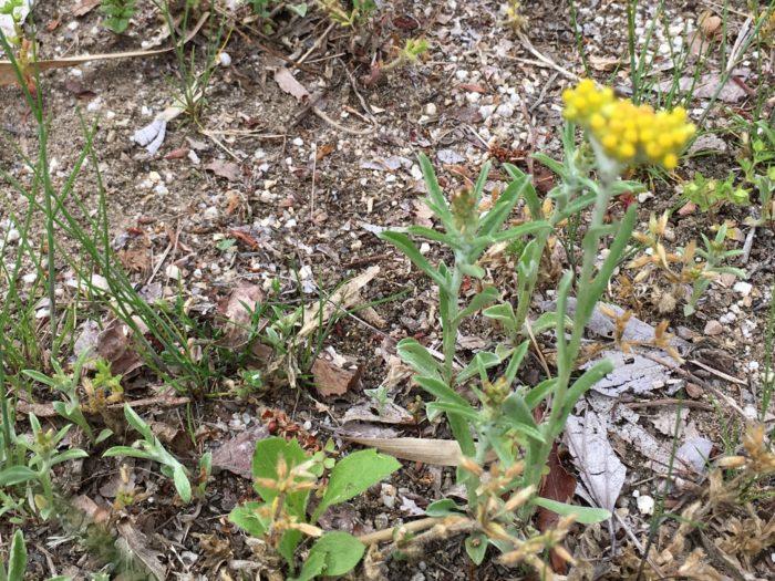 ハハコグサは別名である「ゴギョウ」という名で「春の七草」の一つとして古くから親しまれている植物です。  老いて尚 なつかしき名の 母子草  高浜虚子  ハハコグサの名前の由来は、葉や茎が白い綿毛に覆われている姿を母親が子を包み込むように喩えた説や、葉や茎が白い綿毛に覆われているところからホウケタような状態に見えることから「ホウコグサ」が転訛してハハコグサになったとも言われています。  「チチコグサ」というのもありますが、花が茶色く、野の花としては見劣りします。草花の世界でも、お父さんはお母さんを輝かせる存在なのでしょうか。  このハハコグサは、以前はお餅のつなぎとして用いられていました。そのため昔は草餅と言えばハハコグサでした。  しかし、「母と子を臼と杵でつくのは縁起が良くない」として、平安時代ごろからヨモギに代わったようです。  ハハコグサの草餅って一体どんなお味がするのでしょう?ちょっと食べてみたいですね♪