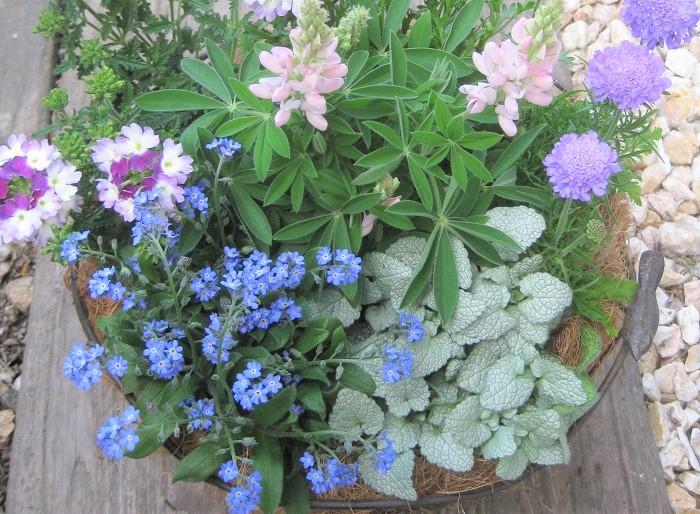 シルバーリーフにブルー、パープル、淡いピンク色と合わせると春にぴったりなパステルカラーの寄せ植えができます。