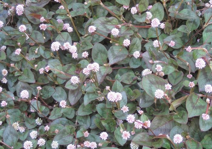 11 ヒメツルソバ タデ科 耐寒性多年草 這性 観賞期:周年  開花期:4~11月  花色:ピンク  草丈:5cmほど  日なたと水はけのよい用土を好みます。とても丈夫でカーペット状に広がります。高温期の蒸れは刈り込んで防ぎます。冬に地上部が枯れてきますが、春にまた芽吹いてきます。かわいらしくポンポンと丸く咲く花の花期が長いところが魅力です。