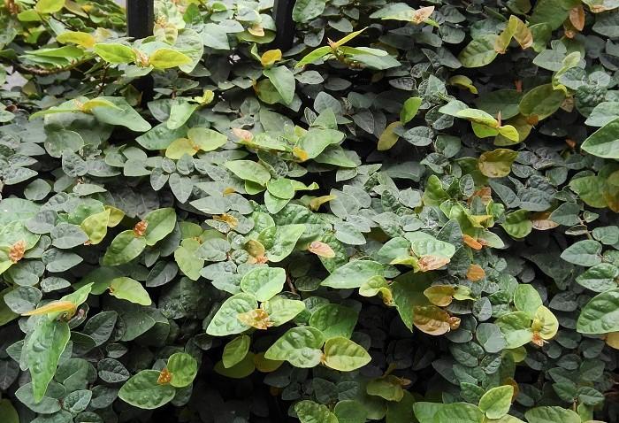 13 フィカス・プミラ クワ科 半耐寒性木本 つる性 観賞期:周年  樹高:10cm~  日なたから半日陰、湿気のある用土を好みます。東京以西では寒風を避けると戸外で越冬できます。つるは木根を出してよじ登ります。半耐寒性ですが東京では1年を通じて壁やフェンスにぐんぐんとよじ登っている姿をよくみかけます。