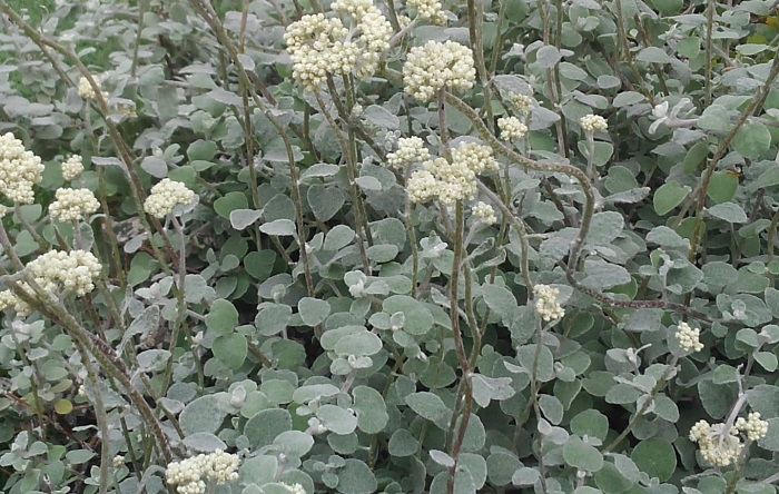 ヘリクリサム・ペティオラレ キク科 半耐寒性木本 観賞期:周年 開花期:6~7月 花色:白~黄 樹高:40cm  日なたと水はけのよい用土を好みます。枝に密に着生した卵形の葉は、全面が一年中銀白色~銀灰色をしています。枝は主に横に伸びて広がります。蒸れに弱いので風通しをよく育てましょう。長い花茎の先に咲く花は中央が黄色っぽい白花です。この写真は咲く前の蕾の状態です。