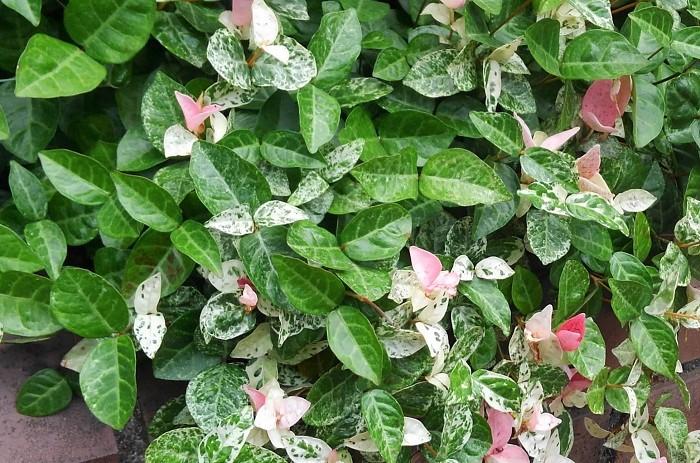 9 ハツユキカズラ キョウチクトウ科 耐寒性木本 つる性 観賞期:周年  樹高:25cm~  半日陰と水はけのよい用土を好みます。夏から秋に葉色が美しいですが、日なたでは葉焼けをおこす場合があります。伸びすぎたつるは切り戻します。とても丈夫で育てやすいです。