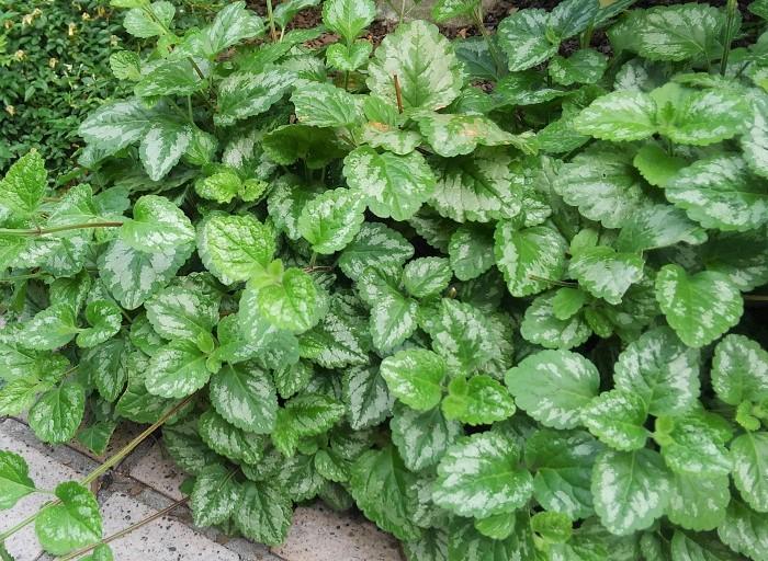 17 ラミウム シソ科 耐寒性多年草  観賞期:周年  開花期:5~6月  花色:紫、ピンク、黄など  草丈:15cmほど  半日陰と水はけのよい用土を好みます。高温多湿に弱いので風通しよく育てましょう。とてもきれいで上品なイメージをつくることができます。葉色は何色かあります。