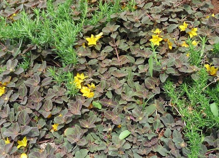 16 リシマキア・ミッドナイトサン シソ科 耐寒性多年草 這性 観賞期:周年  開花期:5~6月  花色:黄  草丈:10cmほど  日なた~半日陰、水はけのよい用土を好みます。小さいブロンズ色の葉が地面を這うように広がります。星型の黄色い花と葉色のコントラストがとても美しいです。シックな雰囲気をつくることができます。寒さで一時的に葉に元気がなくなることがありますが、春になるとまた美しい葉が広がります。