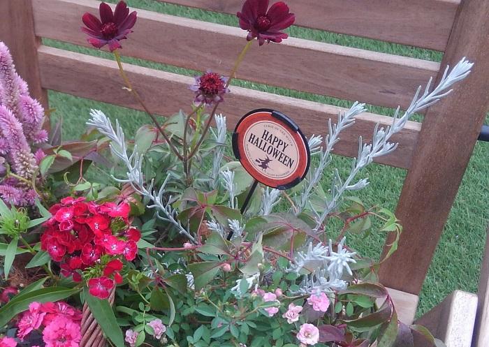 シルバーリーフを濃いピンクや赤、ワイン色と合わせると秋色寄せ植えのアクセントになります。