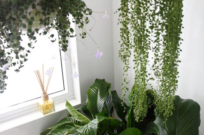 水やり 土が乾いたら鉢底からお水が溢れ出すくらいたっぷりと与えましょう。土が乾かない状態が続くと、コバエやカビが発生したり病気となる原因になります。水やりをしたら、風通しのいいところで管理。冬場は寒いので観葉植物の生長も遅くなります。水やりの頻度も控えましょう。霧吹きで葉にお水をかけてあげると、葉にのっていた埃が取れたり、病害虫対策にもあります。  置き場所 観葉植物の種類によって異なります。育てる観葉植物のすきな環境を頭に入れて置き場所を考えましょう。春先から夏場は直射日光に当てると葉が焼けてしまうので注意。冬場は寒いので暖かい場所で管理します。