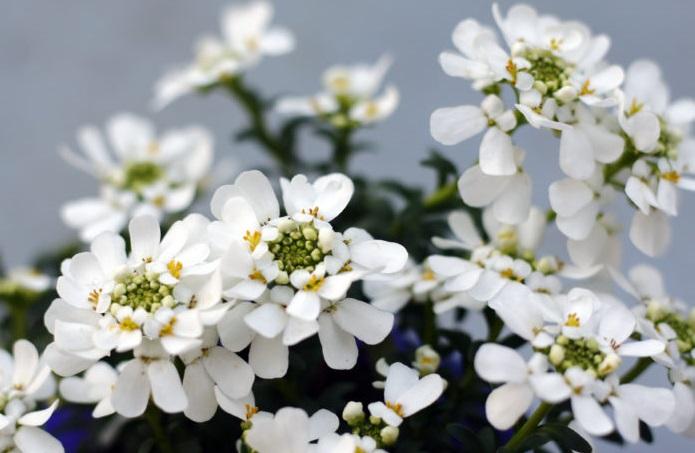 イベリス・センペルヴィレンスの花言葉は、「心をひきつける」「初恋の思い出」「甘い誘惑」。イベリス・センペルヴィレンスの白い小花が清楚な初恋をイメージさせます。