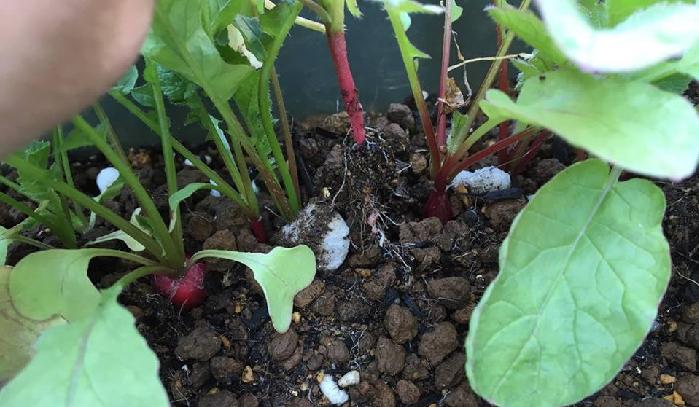 9月の種まきが適しているラディッシュも、種まきから1か月半経ってこの状態です。やはり、例年に比べて生育がゆっくりですね。  このように、ラディッシュの根が太らない原因として考えられることは  気温が高すぎると葉ばかりが茂りがちになる。 水分が足りずに、乾燥している。 気温が低く、日照時間が少ない。 元肥の量が少なすぎた。 「二十日大根」という名の通り20日ほどで収穫できるラディッシュですが、寒くて雨の多いこの10月の天気を考えると、今回の生育の遅さは「3の気温と日光不足」が原因でしょう。