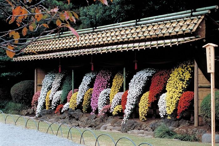 画像提供:環境省  皇室ゆかりの伝統を受け継ぐ新宿御苑の菊花壇。晩秋の日本庭園を特色あふれる菊の花々があでやかに彩ります。趣あふれる日本の伝統美の世界をご観賞ください。    ▼イベント情報をくわしくみる!
