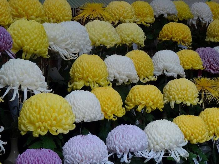 画像提供:東京都産業労働局  秋は全国各地で菊花展が行われます。  その中でも、大正4年から開催され、質・量ともに日本屈指と評される東京都観光菊花大会に足を運んでみてはいかがでしょうか。  大菊盆養(厚物・管物)・大菊切花・盆栽・江戸菊・懸崖・だるま(厚物・管物)・福助(厚物・管物)・実用花・ドーム菊など約1,300点の力作が一堂に会するほか、大杉作りやクッションマムなどの「菊飾り」も観賞できます。  また、苗の販売や栽培方法の説明を通じて、菊花の普及や栽培技術の向上、緑化意識の普及を目指しています。    ▼イベント情報をくわしくみる!