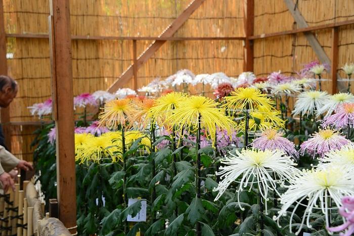 画像提供:靖國神社  境内特設幄舎において、本年で62回目となる菊花展が行われます。  靖國神社菊花奉献会加盟の4団体の奉仕により、多数の色鮮やかな鉢植えの菊花が、厳粛な例大祭に彩りを添えます。秋季例大祭ではその他、能楽堂にて各種の奉納芸能や特別献華展が行われます(観覧自由・無料)。    ▼イベント情報をくわしくみる!