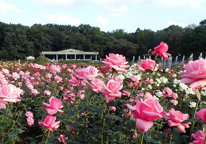 画像提供:神代植物公園  神代植物公園では、今年も秋バラの開花時期に合わせて「秋のバラフェスタ」を開催します。  世界バラ会連合優秀庭園賞を受賞したばら園で、恒例となったガイドツアーやコンサートなど様々な催しを楽しむことができます。また期間中の土日祝日には、バラの香りが最も強い朝に、観賞できるうよう、早朝開園を実施します。    ▼イベント情報をくわしくみる!