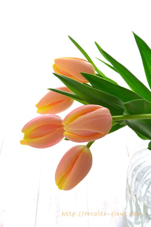 浅水(あさみず)とは、花瓶に入れる水の量を少なくすることです。浅水に対して、花瓶深くまで水を入れることを深水(ふかみず)と言います。  チューリップをはじめとして、春の球根花の切り花は、みずみずしくて茎が柔らかいものが多いので、茎に水が浸かっている部分が多いと、花は元気でも茎が腐ってしまって折れてしまうことがあります。  これを避けるために、チューリップを生けるときには、花瓶には少なめの水を入れて茎が水に浸かる部分を少なくします。ただしチューリップはとても水をよく吸う花なので、水が少なくなりすぎないようにしてください。  花瓶の水を清潔に保つためには、こまめに水は変えるか、無理なら切り花延命剤を利用します。チューリップは、新鮮なうちは茎を大幅に切り詰めない方が長持ちします。切り口が新鮮であればよいので、数ミリくらい切れば十分です。