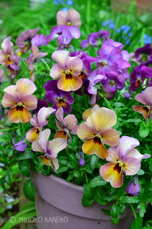 パンジー・ビオラ  流通始まり10月~花の時期6月まで  パンジー・ビオラは花か咲いている期間がとても長く、適切な手入れをすれば、次々と花が咲くので、冬から春のガーデニングに欠かせない花です。品種が豊富で、原色に近い黄色、鮮やかなオレンジ、ピンク、紫系濃淡、赤、白、黒等。単色の他、複色もあり、その数は数えきれず。毎年新品種が作りだされています。  ビオラとパンジーの違いは花のサイズで、ビオラの方がパンジーよりサイズが小さく3~4cmで、多花性のものが多いのが特徴です。パンジー・ビオラは本来は春の花ですが、年々流通し始める時期が早くなる傾向にあり、最近では10月ごろから見かけるようになりました。  パンジー・ビオラは、暑さや湿気は苦手なので、11月以降の気温が下がってきたころに購入した方が、春まで長持ちする傾向にあります。冬場のパンジー・ビオラは花数は少なめで一輪一輪が長持ちし、春になって本来の開花時期になると、たくさんの花が次から次へと咲き始めます。ひと苗で半年以上咲くというパフォーマンスの良さが魅力です。冬から春の花壇や寄せ植えにおすすめです。