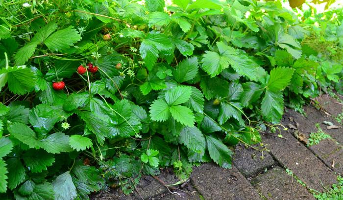 ワイルドストロベリーは生長が旺盛なので、環境に合えばランナーを出して増えていくことからグランドカバープランツとしても利用できます。ワイルドストロベリーは繁殖力が旺盛なので「爆殖植物」的な要素もありますが、根が浅いので増えすぎて整理したい時に抜きやすいので、管理しやすく雑草対策にもなります。