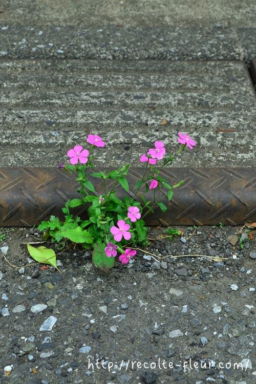 うちから少し離れた道路上のコンクリートの割れ目から発芽してしまったシレネ・カロリニアナ。 どうやって種が運搬されたんでしょうか?