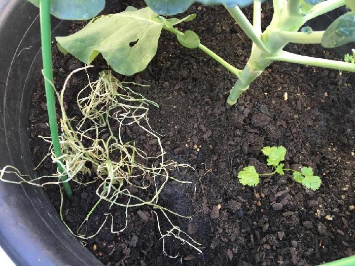 ナメクジの被害は減りましたが、残念ながら一緒に植えていたわけぎは肥料焼けして枯れてしまいました。作物にあった分量のサポニン投入ということが大切なんですね。