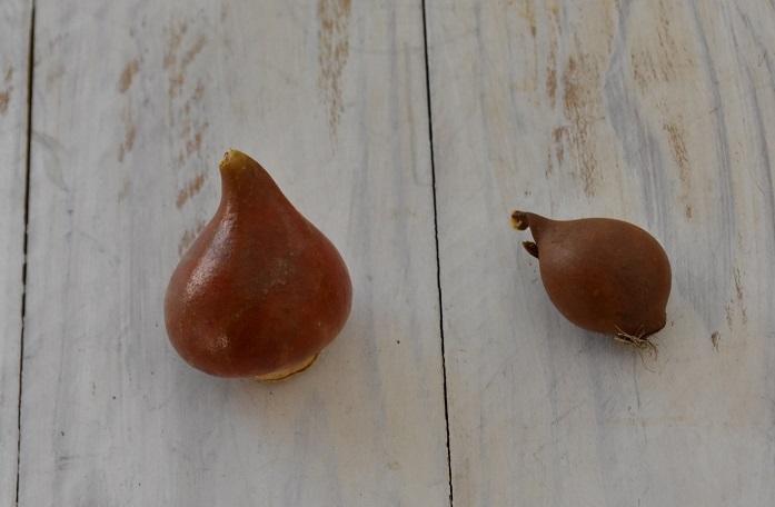 一般的なチューリップに比べて、原種チューリップの球根の大きさは半分以下の小さなサイズです。