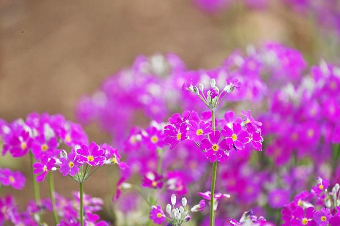 「サクラソウ 花言葉」の画像検索結果