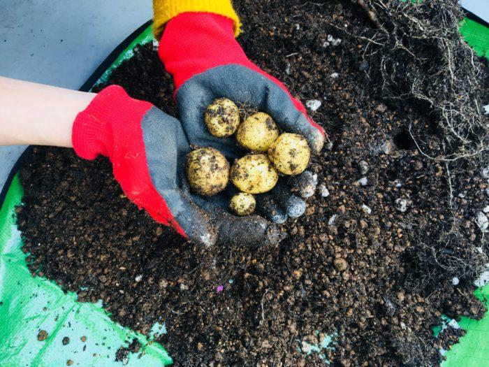 結果は6個。収穫物があっただけでも感謝です。じゃがいもの表面もなめらかなことから、そうか病などにかかっていないことが分かります。つまり、土のpHが適切であった証拠です。  ※そうか病とは、土の酸度がアルカリに傾いてしまった時になりやすい病気です。
