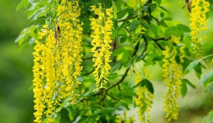 科名:マメ科 開花期:4~5月 分類:落葉高木 キングサリは春に黄色の藤のような花を咲かせます。キングサリは落葉高木なので、藤のようにつるにはなりません。大きな木の上の方から明るい黄色の花を枝から下げるように咲く姿は圧巻です。