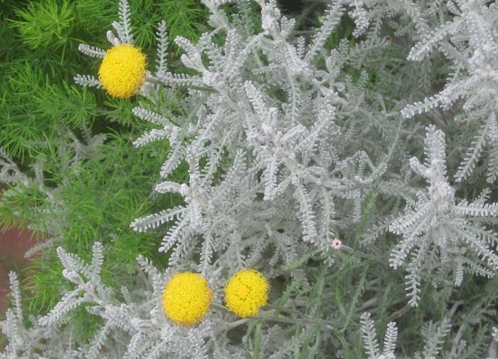 サントリナは花期になると枝先に花径2㎝ほどの丸くて黄色い花を咲かせます。
