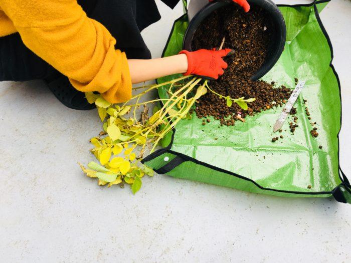 野菜の収穫や抜き取りにとっても便利な園芸シートの上にじゃがいもを土ごと出します。  箱型になるので、土が外にこぼれずらいようになっています。
