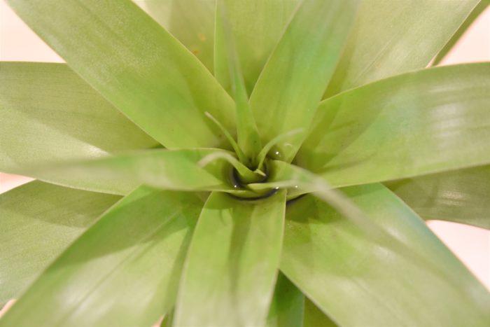 タンクタイプと呼ばれるエアプランツは葉と葉の間に水を溜めます。