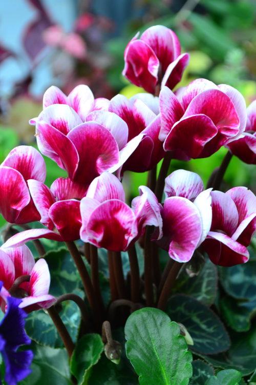 ガーデンシクラメン  流通始まり11月~花の咲く時期4月まで  ガーデンシクラメンは、室内で育てられているシクラメンを品種改良して、外で育てられるように作られた寒さに強いシクラメンの品種です。10月くらいから流通しています。  一般的なシクラメンより小さいサイズで、冬の屋外でも楽しむことができ、小ぶりなので冬の寄せ植えの素材として人気の花です。ガーデンシクラメンは本格的に寒くなってから植えると、根がはりにくくなってしまい、花つきが悪くなってしまうので、花壇には秋のうちに定植しておきましょう。  霜に当たっても枯れることはありませんが、-5℃を下回ると枯れてしまうので、寒冷地では注意しましょう。