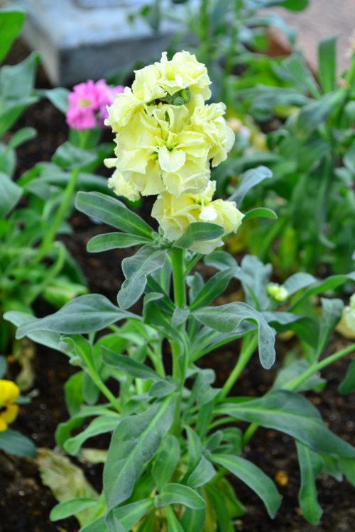 ストック  流通始まり11月~開花期5月まで  ストックは草丈が20cm-80cmで、ほんのりと香りがする春の花です。花の日持ちがよく、香りも同じように長く続きます。多年草なのですが日本では一年草として扱われています。花の色は赤、白、ピンク、紫、クリームイエローがあります。  すっとした直線的な花茎に穂状にたくさんの花が咲くので豪華な雰囲気です。ストックの本来の開花期は3月~5月ですが、出回りは11月頃から流通し始め、冬から春の公園花壇などの公共空間の植栽にもパンジー、ビオラと一緒に使われることが多い草花です。