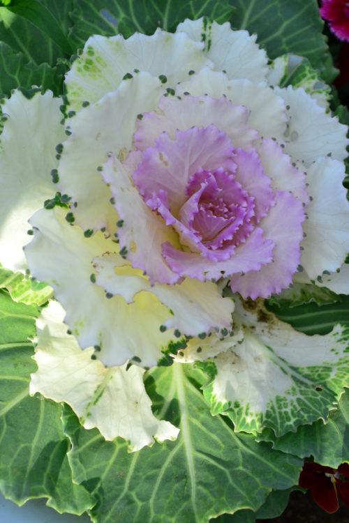 ハボタン  観賞期:11~3月  キャベツのような見ためで寒さに強く、花が少ない冬やお正月の装飾や冬の花壇の素材として使われてきたハボタン。最近は、新品種が次々に作り出され、従来のイメージを覆すような品種も多種類あります。  丈の低い品種、高性種、ツリー風、矮性・・・など、色々な咲き方、葉の色や切れ込みが美しい品種もあり、冬の花壇や寄せ植えのカラーリーフとしても使える素材です。最近は切り花の葉もの素材としても多品種が出回っています。葉っぱとしての観賞期は3月くらいまでですが、その後、株元から花茎が立ち上がり、花が開花します。スペースに余裕のある方は、そのまま抜かずに花を楽しんではいかがでしょうか。