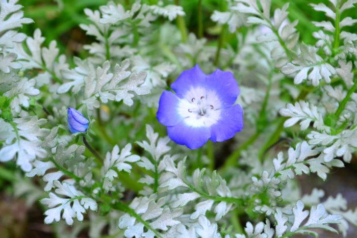 ネモフィラ・プラチナスカイ(見元園芸登録品種)葉が斑入りのシルバーリーフのネモフィラ ※登録品種とは、種苗法により保護された品種です。