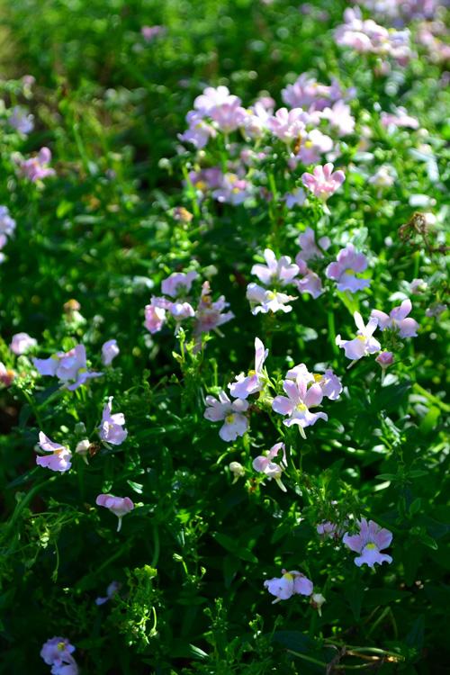 宿根ネメシア  花の咲く時期:四季咲き  ネメシアは一年草と宿根草のネメシアがあります。宿根ネメシアは、寒さに強く3℃以上の気温があれば1年中開花する四季咲き性の性質があります。  苗は1年中流通していますが、春から初夏と秋から初冬が一番豊富に出回る季節です。一年草に比べて花色は少ないですが、開花期間が長いので、寄せ植えには大活躍する草花です。  毎年、続々と新品種、新色が登場しています。宿根ネメシアは、霜に何度も当たると弱るので、花壇などに地植えにしたい方は10月までか春になってから植え付けるのがポイントです。