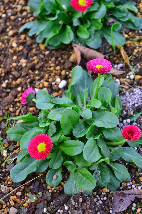デージー  流通始まり12月~花の咲く時期:5月まで  デージーは丈夫で育てやすい一年草で秋ごろから苗が流通し始めます。草丈は15~20cmと矮性で、同じ時期に出回るビオラやパンジーなどとの寄せ植えや花壇、ハンギング、公共空間の冬から春の花壇などにも使われています。