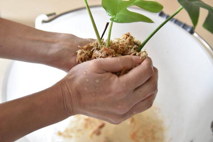 次に水で戻した、ミズゴケをモンステラに巻き付け、軽く水を絞ります。  強く絞りすぎると根が傷ついてしまうため、注意してください。
