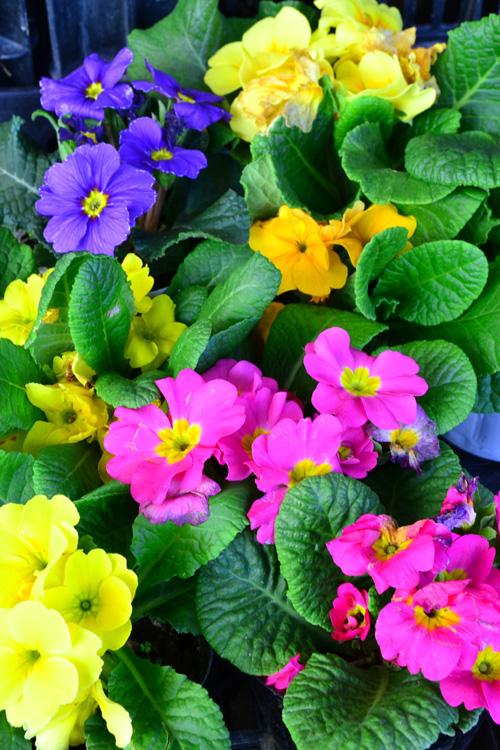 プリムラ  流通始まり11月~花の咲く時期4月まで  プリムラ・ジュリアンは大きめでカラフルな花で、秋から苗が出回り始めます。プリムラは数百品種以上からなる非常に種類が多い草花です。毎年のように新品種が作り出されています。プリムラ・ジュリアンは本来は多年草ですが、日本では一年草として扱われることも多い花です。