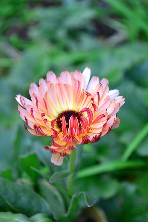 カレンジュラ・コーヒークリーム  品種も豊富にあって、最近は写真のようなシックな花色のカレンジュラもあります。