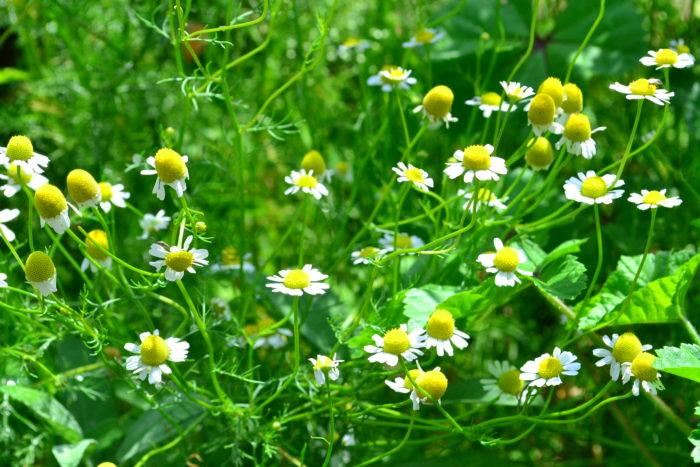 カモミールは、キク科のハーブ。白い花のカモミールは一年草と多年草がありますが、花を楽しむためなら一年草のジャーマンカモミールの方がたくさんの花を楽しめます。ほんのりとりんごのような香りのする優しい雰囲気のするハーブです。草丈は30cm~40cm以上になるので、花壇におすすめ。