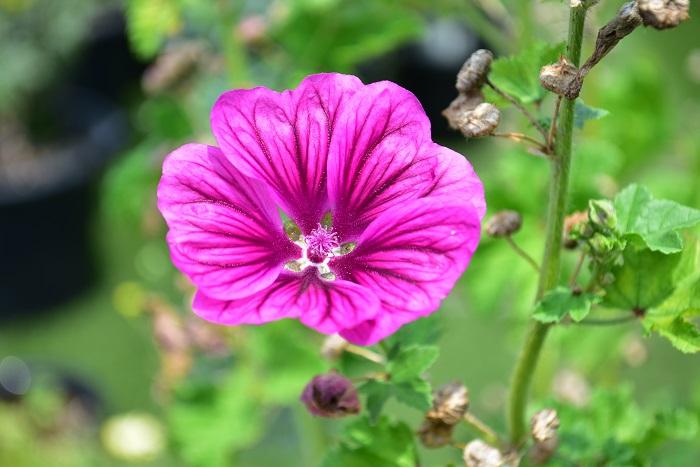 マロウはアオイ科の宿根草です。マロウの花はハーブティーにして飲むことができます。マロウティーは鮮やかな青色が特徴的です。さらにレモンを入れるとピンクに変化することから、とても人気のあるハーブティーです。マロウはたくさんの種類があり、中には園芸メインの品種もあるので購入時に確認すると安心です。