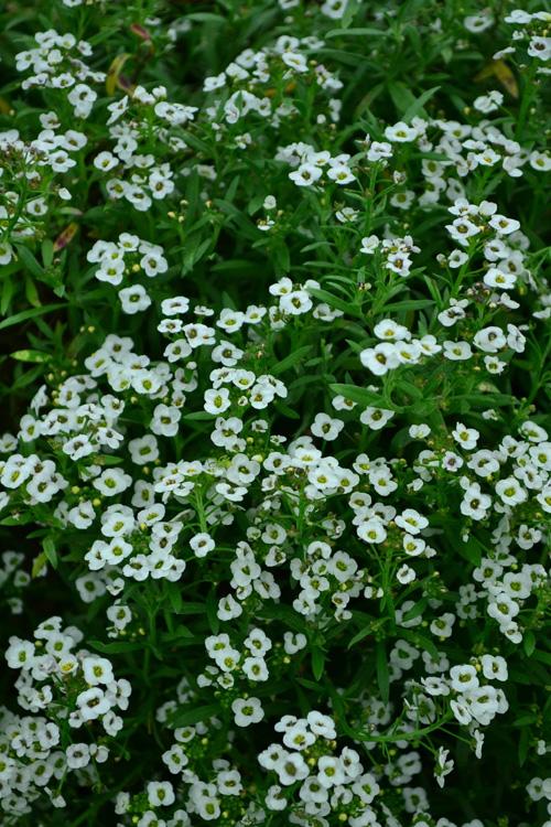 アリッサム  流通始まり10月後半から11月~  花の咲く時期11~6月、夏を越せば9~11月  スイートアリッサムは小花がたくさん咲き、こんもりと生い茂る姿が何ともかわいらしい草花です。本来の開花時期は春ですが、苗の流通は秋ごろから出回っています。  横に広がる性質を持つので、グランドカバーの他、寄せ植えや花壇の縁取りに植える花として人気があります。高温多湿には弱いですが、乾燥に強く丈夫であるため、園芸初心者には最適ともいえます。  アリッサムの花色はピンク、白、紫、オレンジと豊富に花色があるので花壇や寄せ植えの素材として重宝します。アリッサムは本来は多年草ですが、湿気に弱いため、日本では一年草扱いをされていることが多いですが、うまく環境にあえば多年草化することもあります。