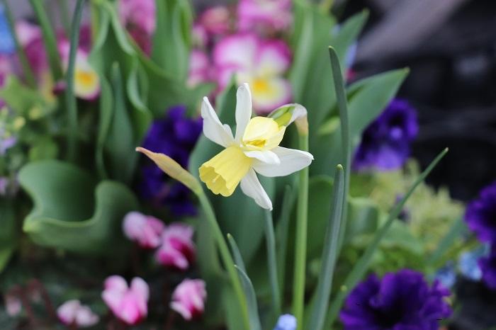 ムスカリの次に、3月の末頃にミニミニ水仙が咲きました。