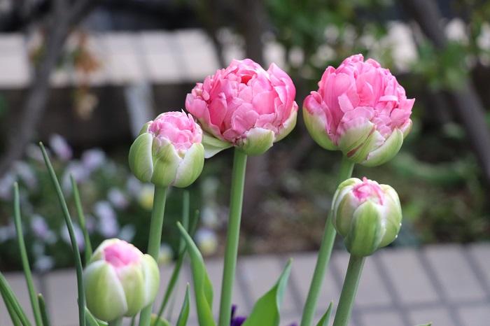 4月10日過ぎには、球根のパッケージ写真にあったコロンとまあるい八重咲きのチューリップが咲きました。