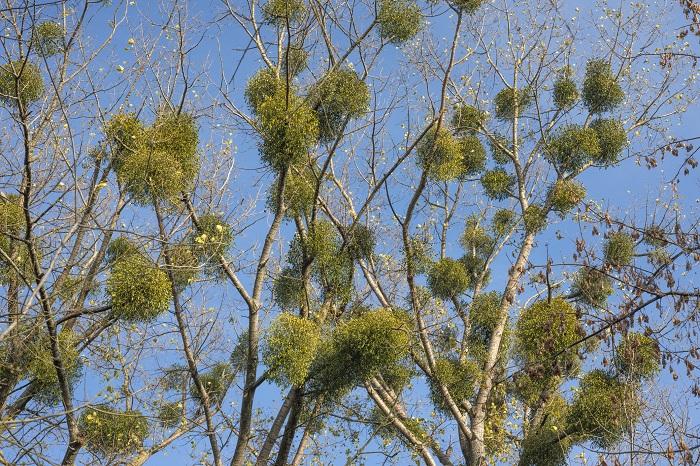 ヤドリギ(宿木)はそんなに珍しい植物ではありません。落葉樹の葉がなくなる冬に、高木の上の方の枝で見かけることが出来ます。ヤドリギ(宿木)は街中の公園や街路樹にも寄生しています。少し注意深く周りを観察すると、意外なところに生えています。