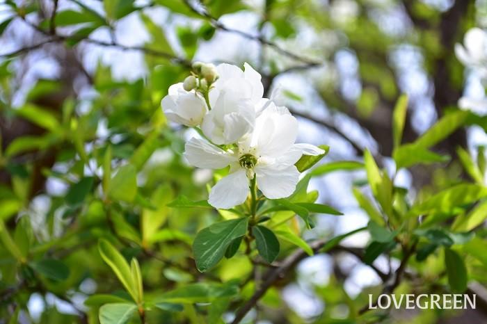 リキュウバイ(利休梅)の花は、4月~5月に開花します。