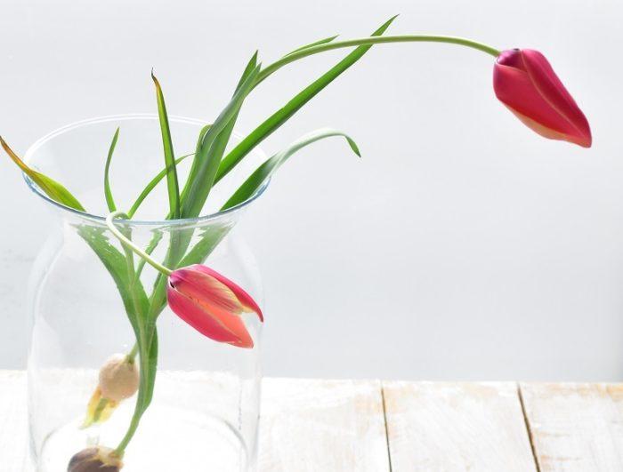 水栽培と言えば、ヒヤシンスが有名ですが、原種チューリップも水栽培が可能です。最近は、切り花としても球根付きの原種チューリップの流通があります。