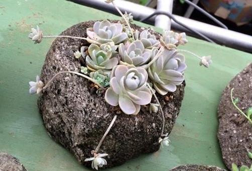 オロスタキス 爪蓮華、子持ち蓮華、富士などがオロスタキス属の多肉植物。爪蓮華など日本原産の種類がある属でもあります。