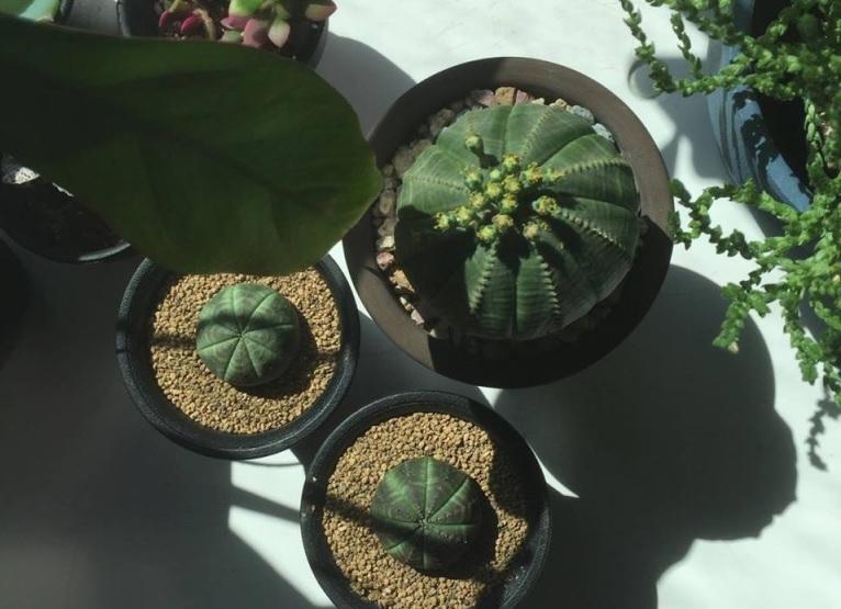 型種の多肉植物の育て方 日当たり・置き場所 なるべく日当たりのよいところに置くほうが元気な株に育ちます。しかし直射日光が強すぎると葉焼けをしてしまうので、遮光ネットなどを使って遮光をしてあげるとよいでしょう。  冬場の管理  冬場は室内や温室での管理をしましょう。その際、空調が当たらないように気を付けてください。窓辺は外気と同じ気温近くにまで冷え込みます。昼間の気温が高い時は日光に当てるために窓辺でもよいですが、朝晩は冷え込みますので部屋の別の場所に移動させ管理しましょう。  季節別の水やり、管理方法 春・秋:日当たりの良い場所に置き、土が乾いたら鉢底から水が出るくらいたっぷりお水をあげましょう。  夏:夕方以降の暑さが落ち着き涼しくなってからお水をあげましょう。  冬:休眠期。お水の回数を少な目にします。月1、2回ほど暖かい日の昼間にお水をあげましょう。土が乾燥してから3、4日経ってからお水を与えてもよいです。  夏型種の多肉植物の種類 ユーフォルビア、カランコエ、アガベ、コチレドン(銀波錦など夏型種)、クラッスラ(夏型種)、アロエ、パキフィツム、パキポディウムなど。  >>>多肉植物を調べてみよう
